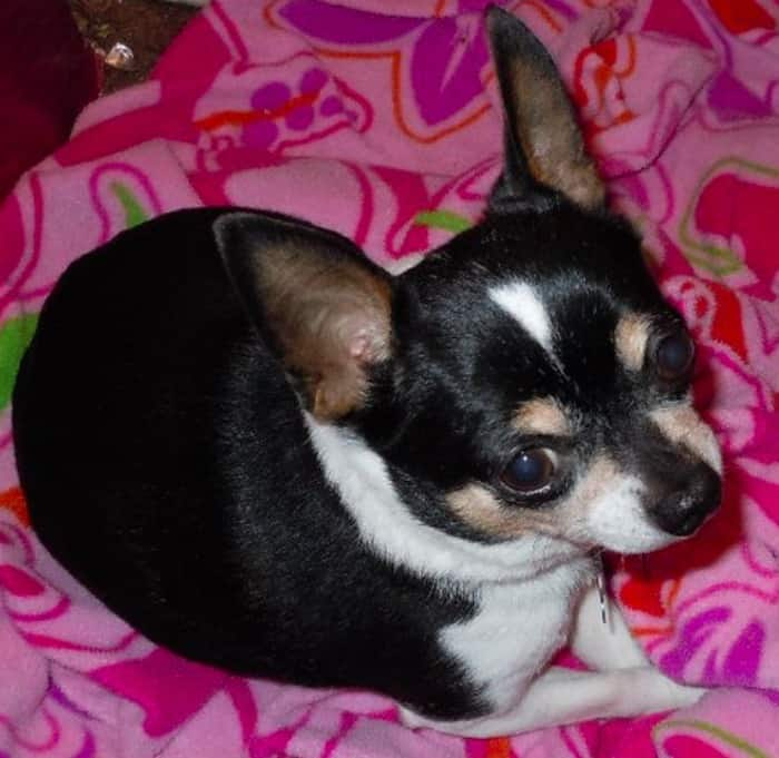 Keltie the Chihuahua
