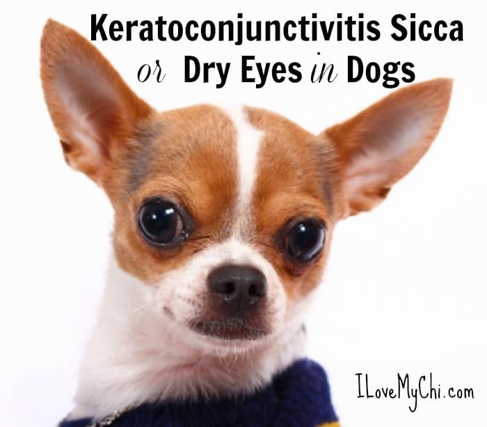 Keratoconjunctivitis Sicca or Dry Eyes in Dogs