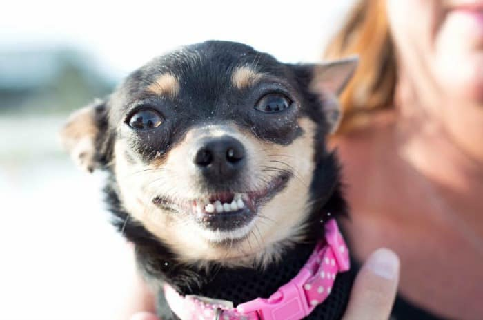 chihuahua with dry eyes