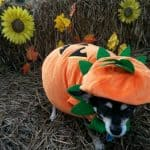 Chihuahua Halloween Gallery for 2016 Part 2