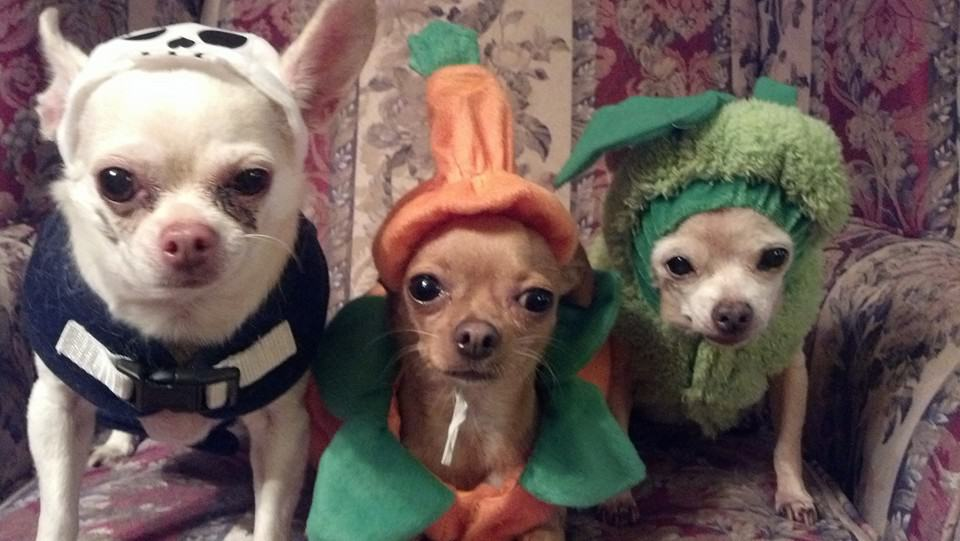 Chihuahua Halloween Gallery for 2016