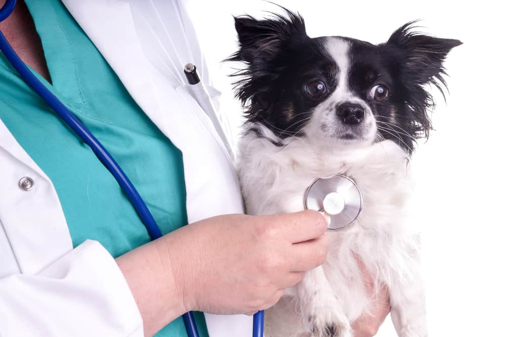 chihuahua being checked by vet