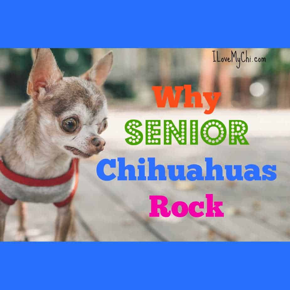 senior chihuahua walking on sidewalk