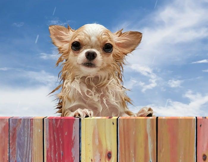 wet-stinky-chihuahua