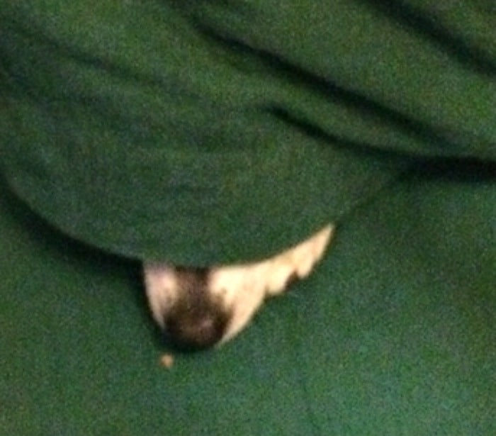 kissy the chihuahua snuggling under blanket