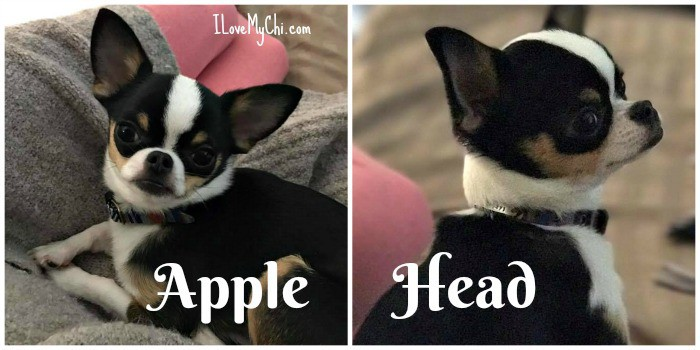 front and side view of an apple head chihuahua