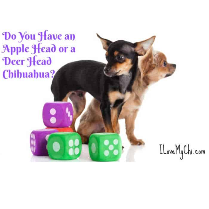 a deerhead and applehead chihuahua standing side by side. Dog toy dice by the dogs