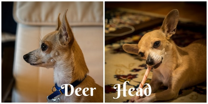 side and front view of a deer head chihuahua