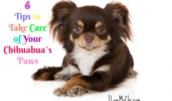 6 tips to take care of your chihuahua's paws