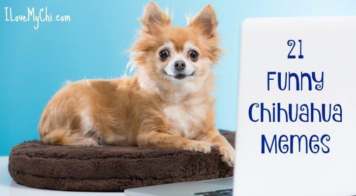 21 Funny Chihuahua Memes