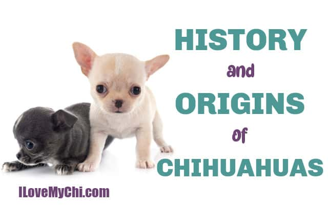 black chihuahua puppy and fawn chihuahua puppy