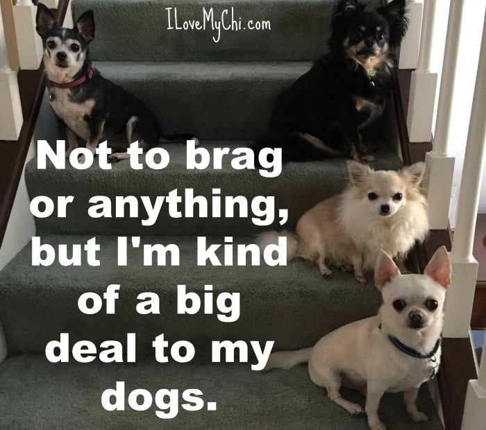 brag 21 funny chihuahua memes