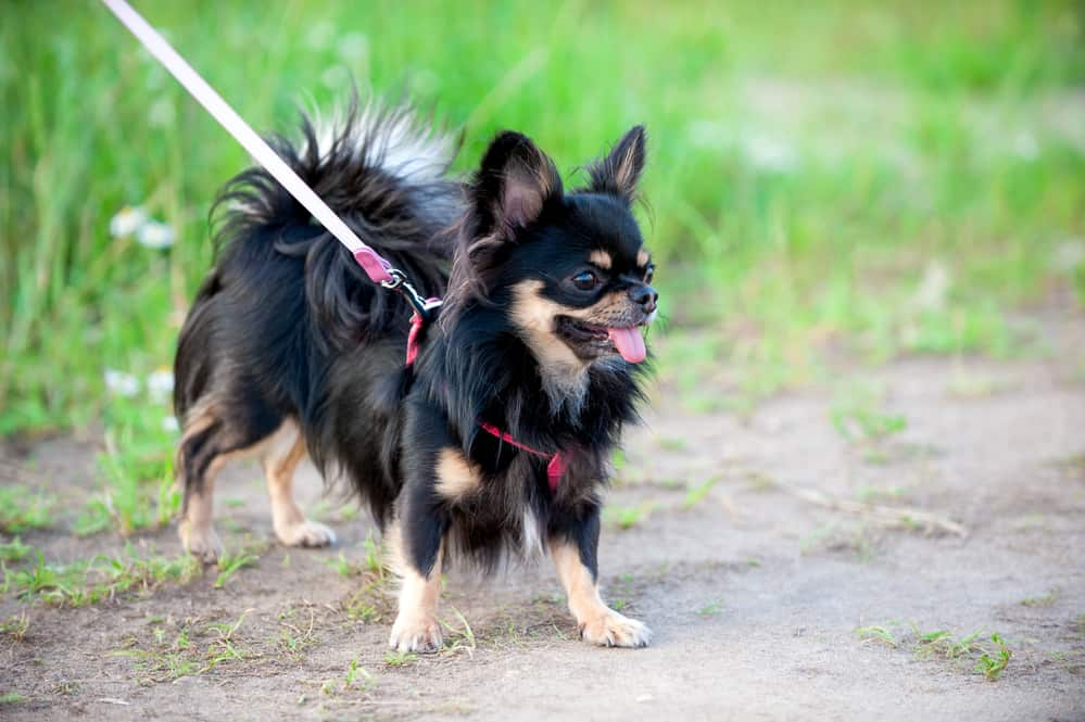 chihuahua with harness and leash