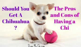 Should You Get A Chihuahua? Pros and Cons of Having a Chi