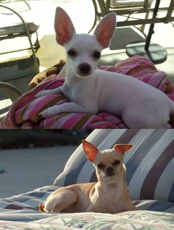Chihuahuas of summer