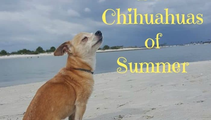 The Chihuahuas of Summer
