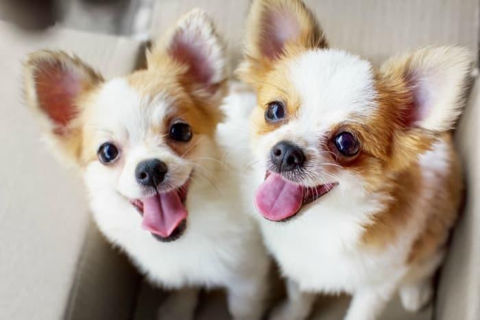 2 adorable chihuahuas