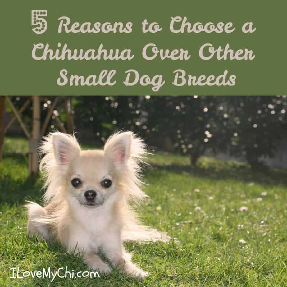 long hair chihuahua in grass