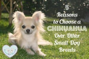 Reasons to Choose a Chihuahua Over Other Small Dog Breeds