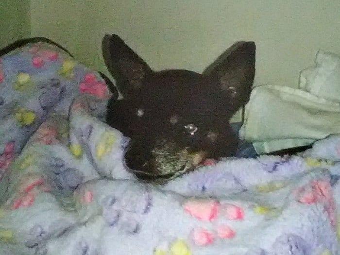 Lulu the Chihuahua