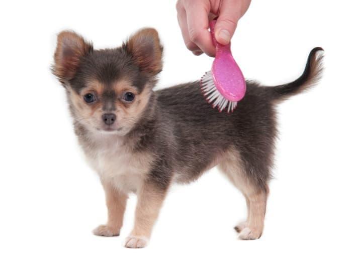 brushing chihuahua puppy