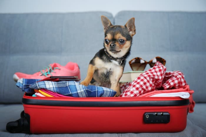chihuahua in suitcase