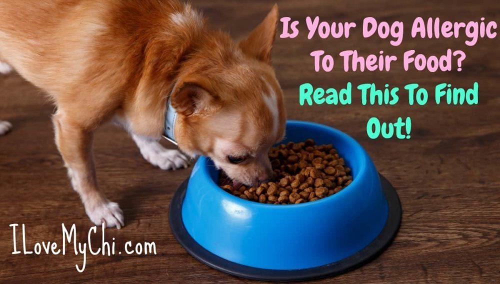chihuahua dog eating from dog bowl