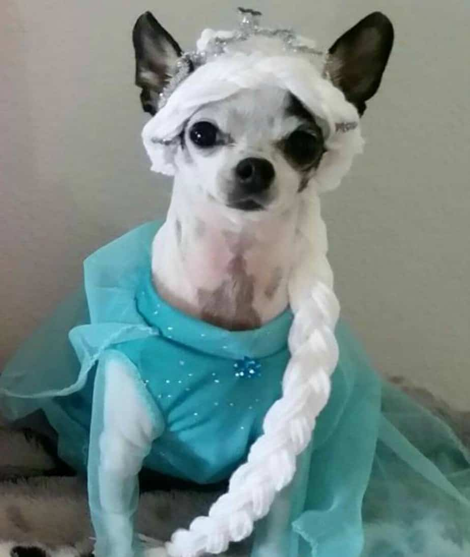 chihuahua dressed as Elsa from Frozen