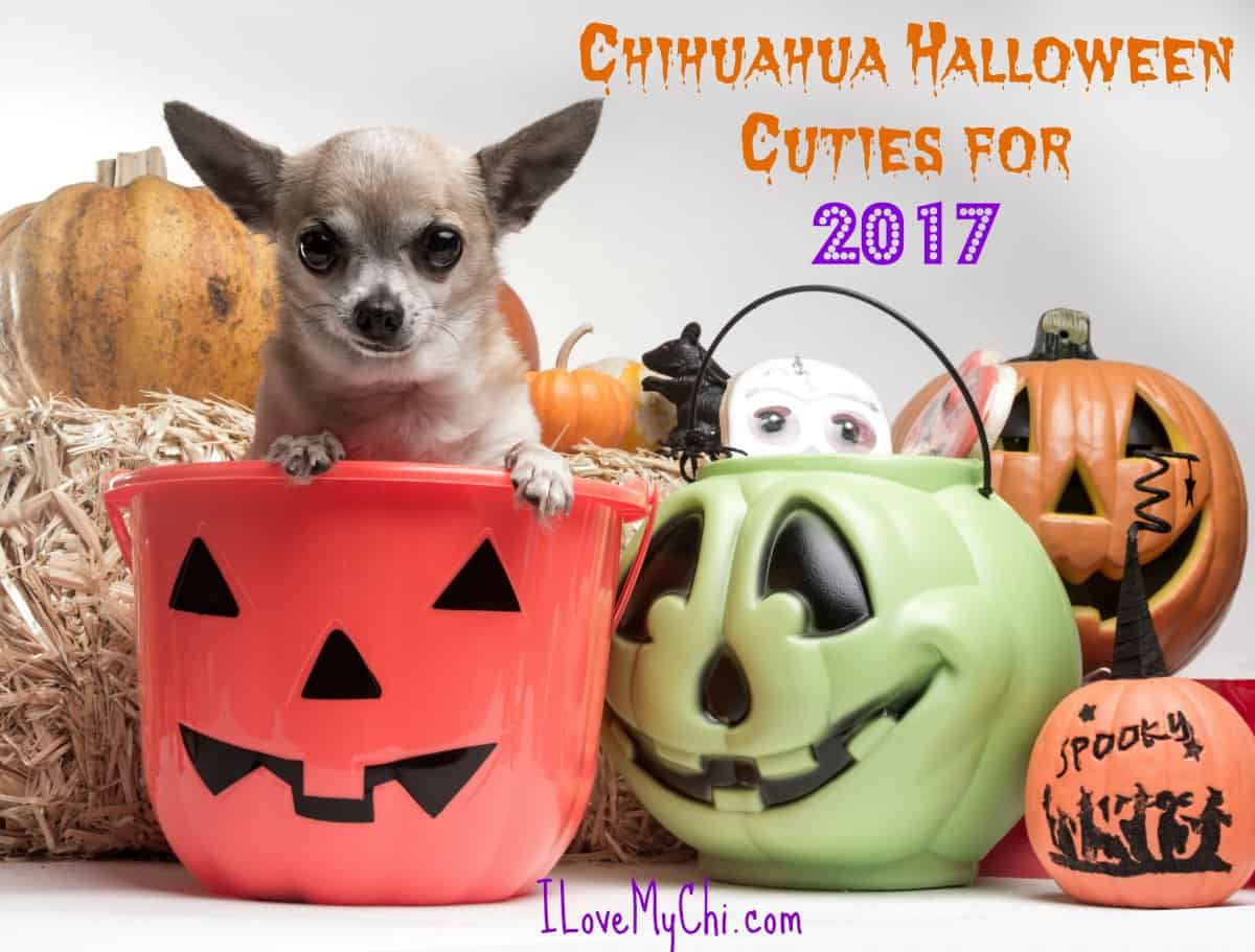 Chihuahua Halloween Cuties for 2017