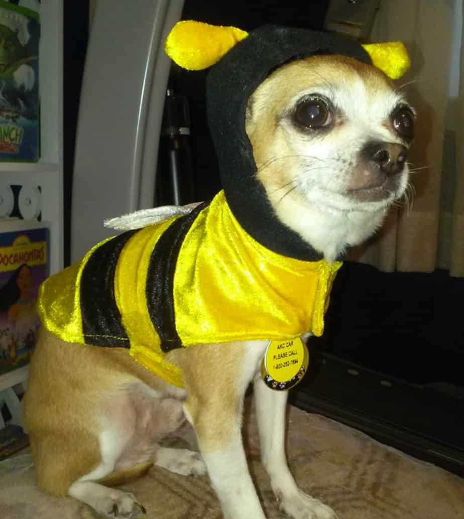 chihuahua in bee costume