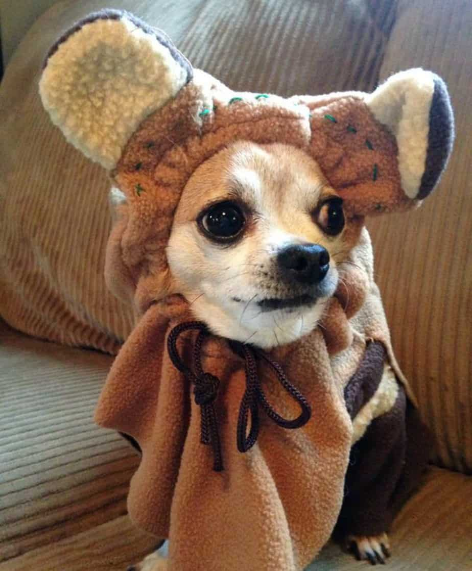 chihuahua in Halloween costume