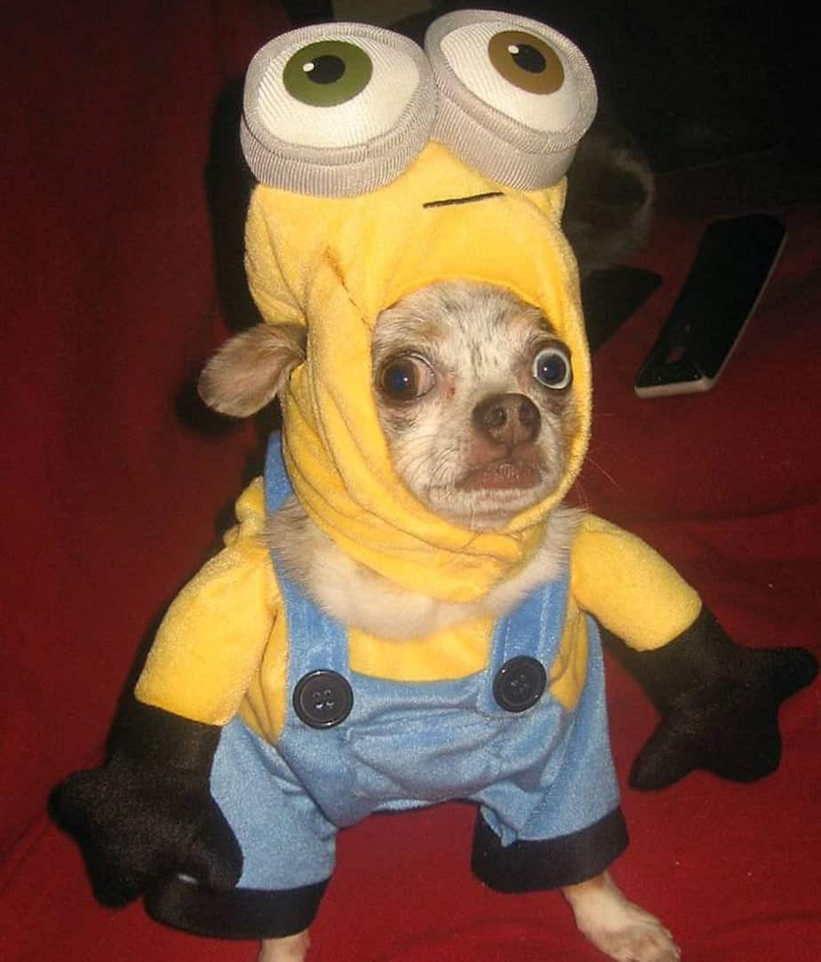 chihuahua in minion costume