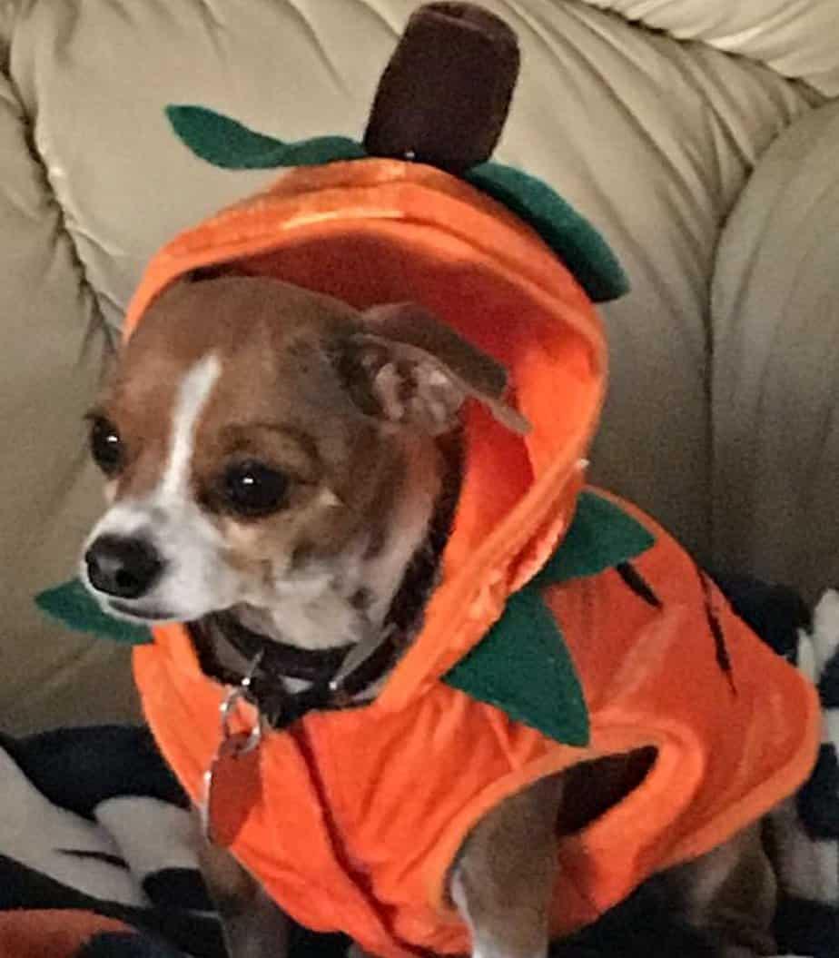 dog in pumpkin costume