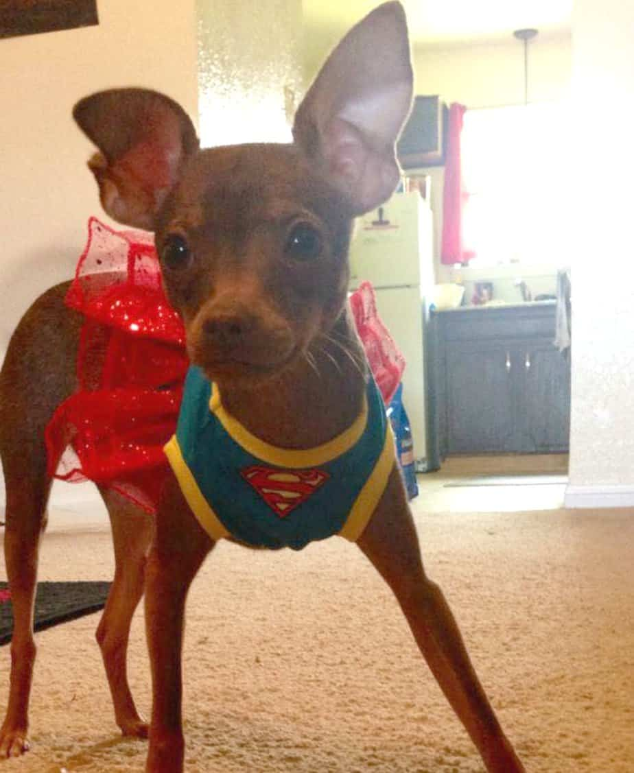 chihuahua in super girl costume