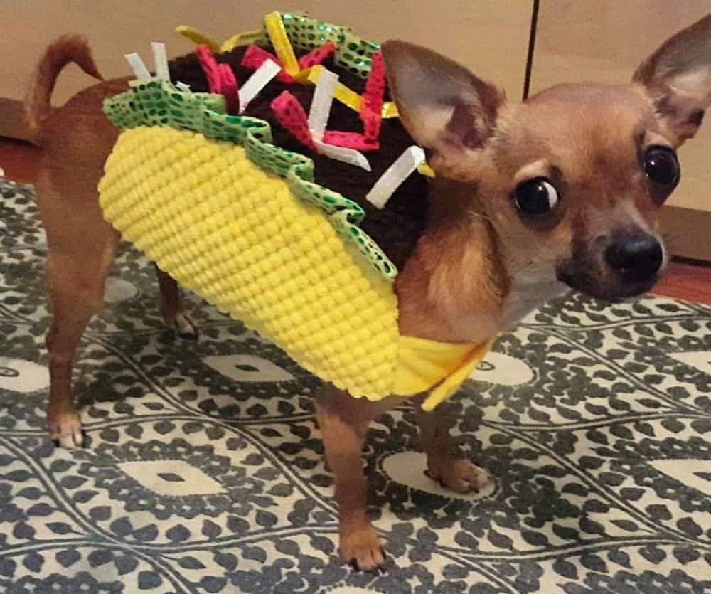 chihuahua in taco costume