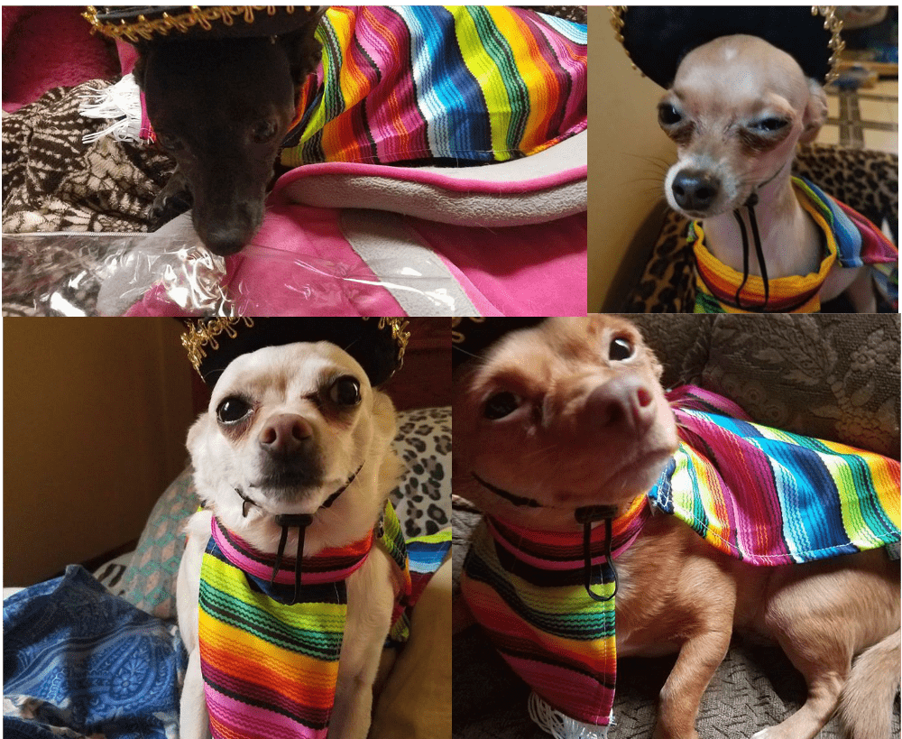 chihuahuas in Mexican costumes