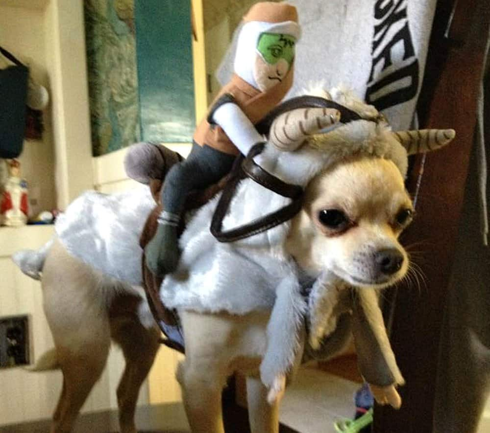 chihuahua in tauntaun costume & Chihuahua Halloween Cuties for 2017
