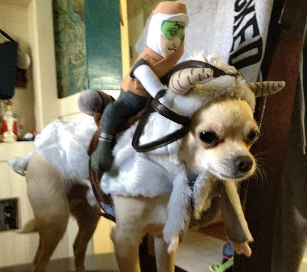 chihuahua in tauntaun costume