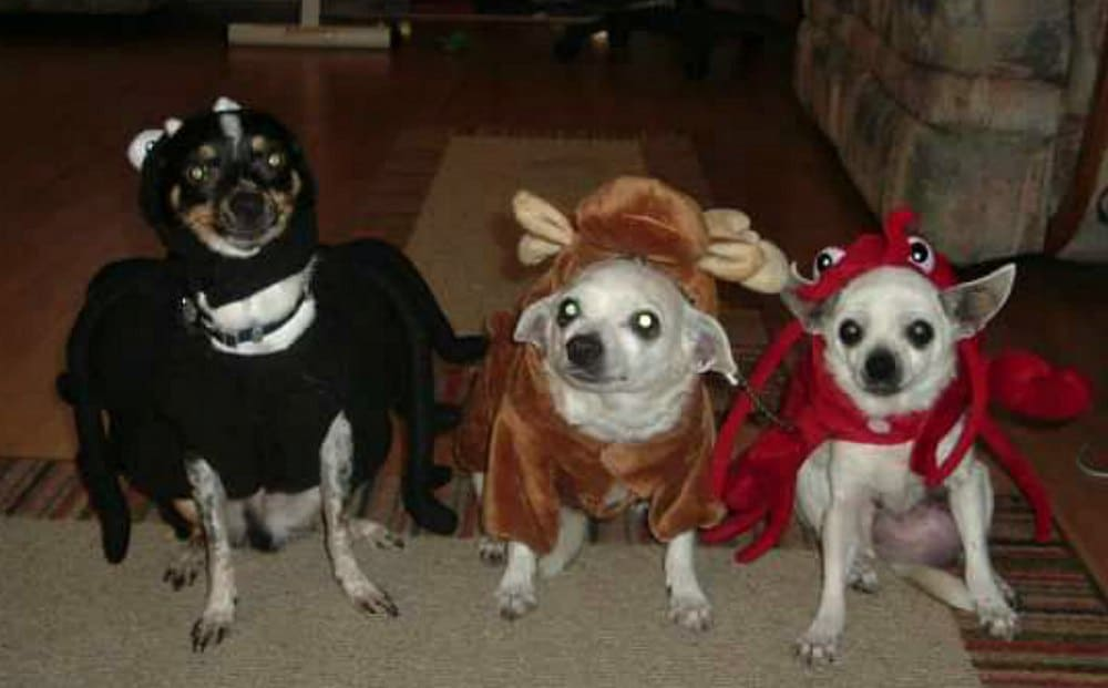 3 chihuahuas dressed in Halloween costumes