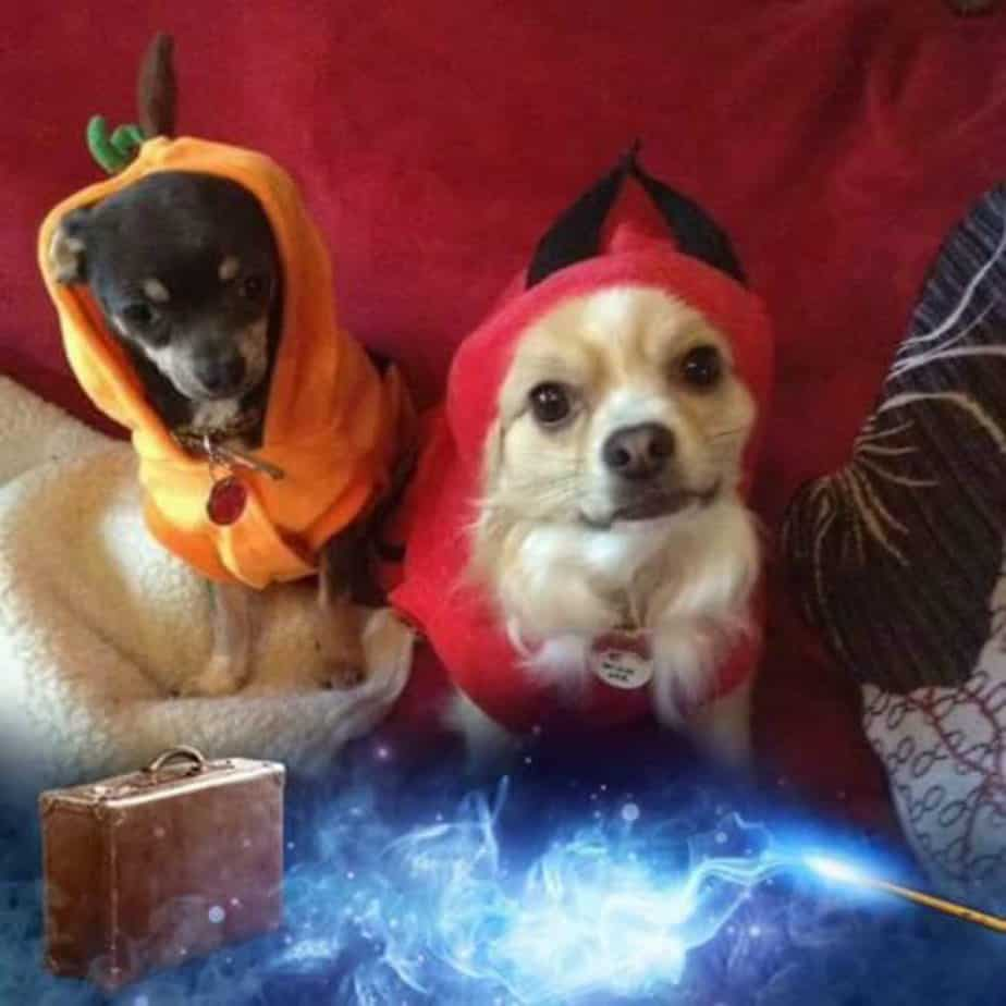 2 chihuahuas in Halloween costumes