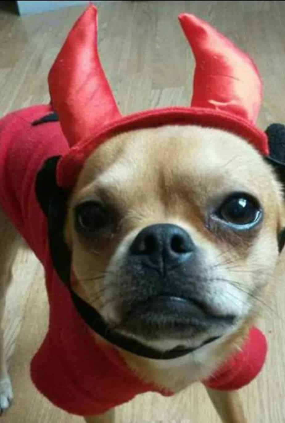 chihuahua in devil costume