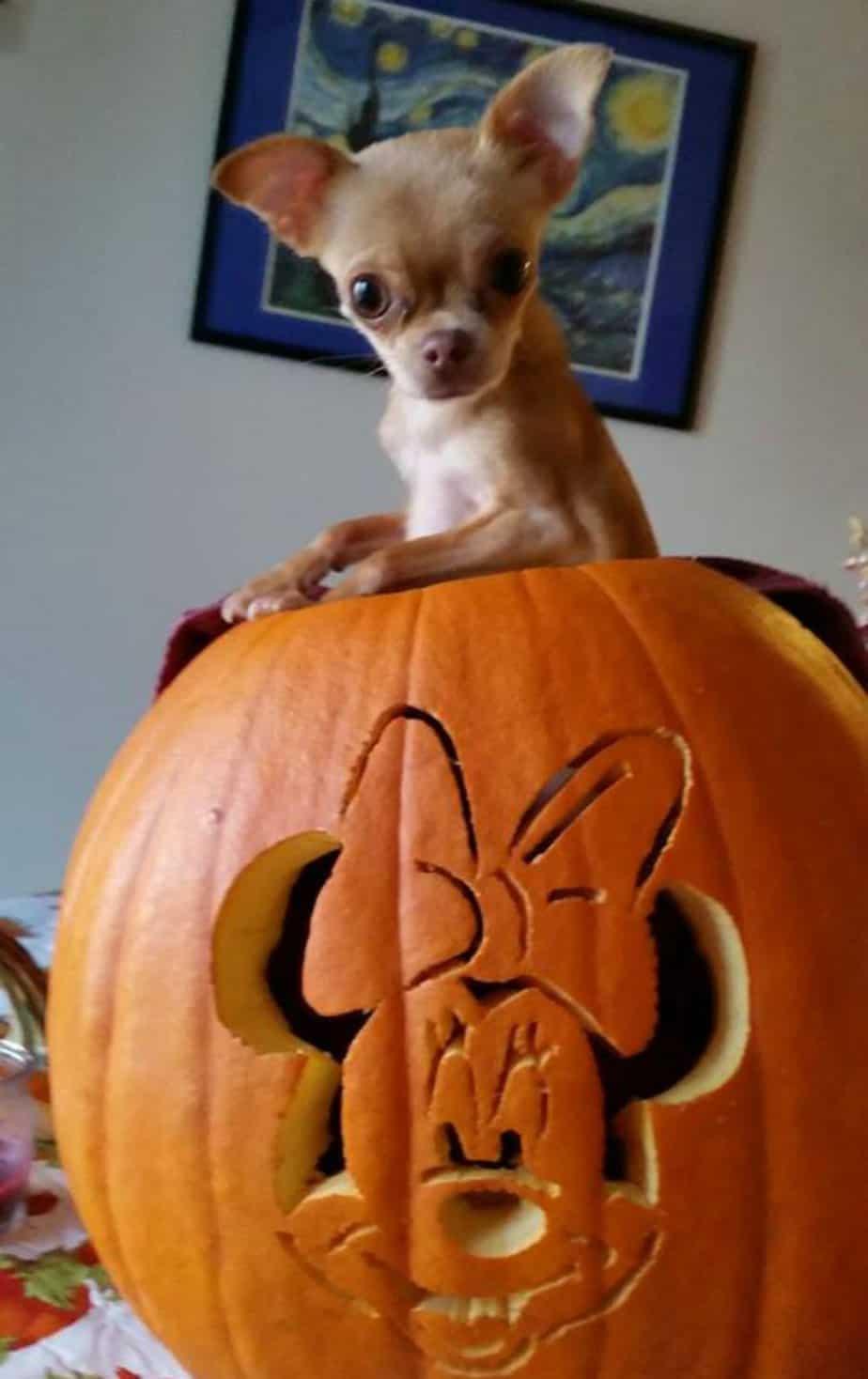 chihuahua in a pumpkin