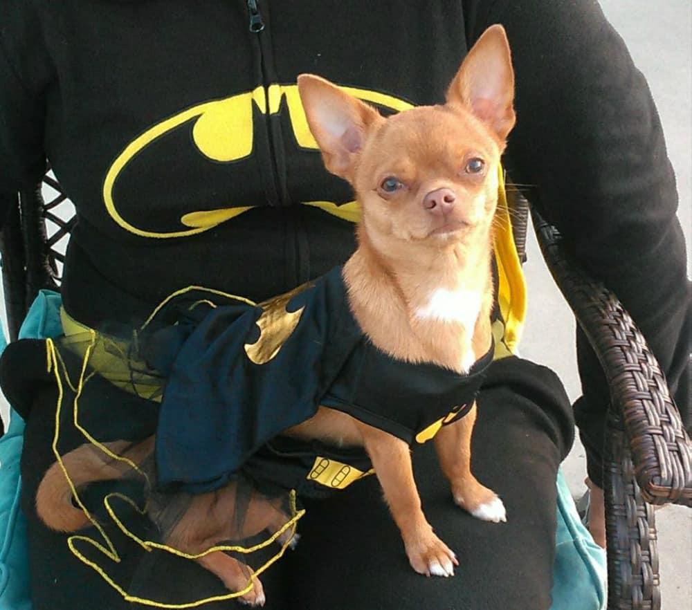 chihuahua in batgirl costume