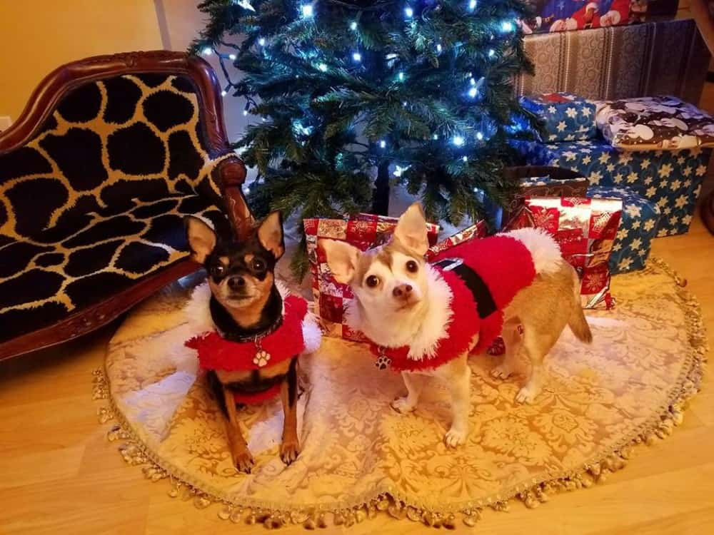 Jackson and Sophie the chihuahuas