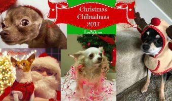 2017 Christmas Chihuahuas