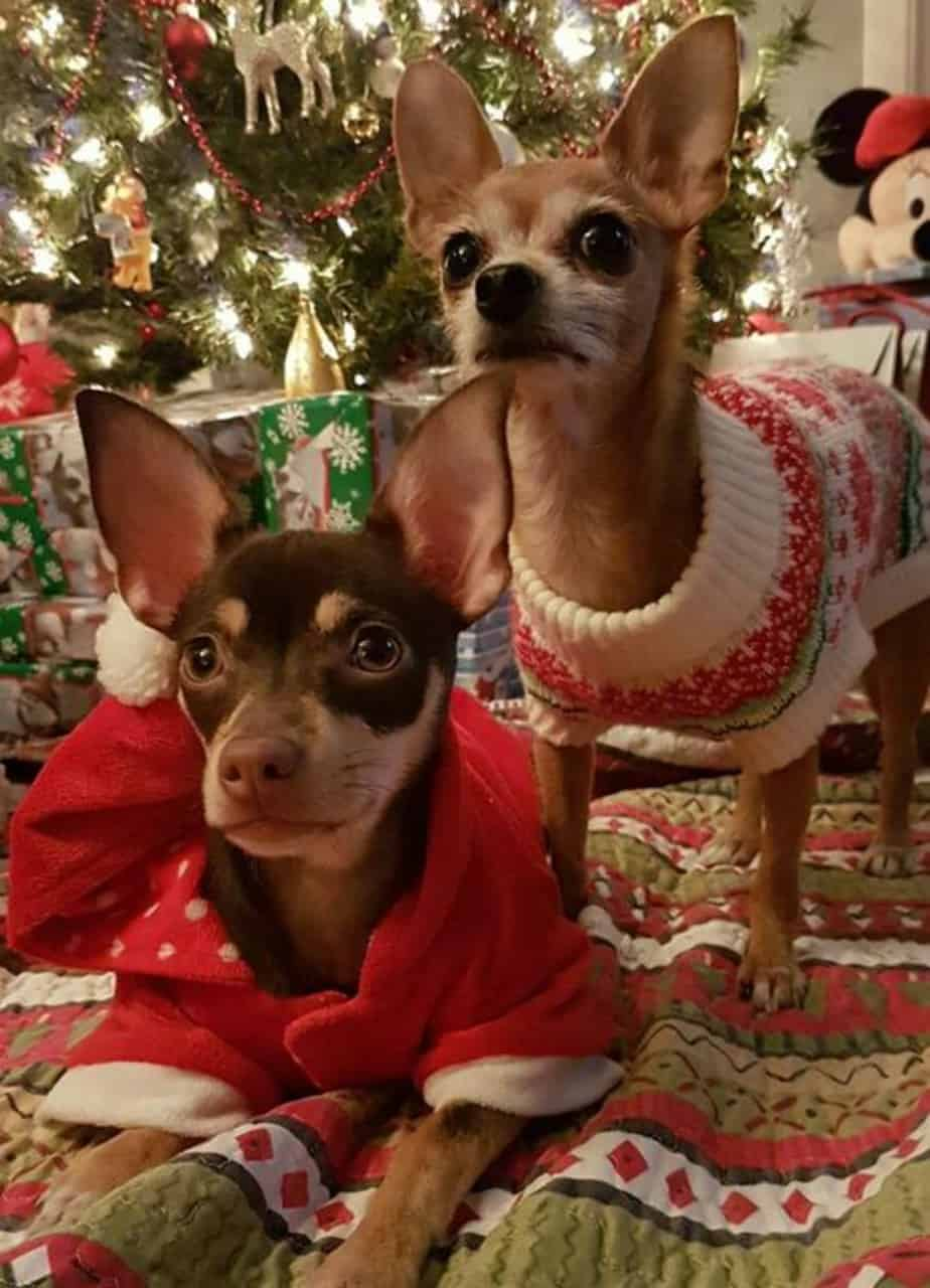 Phoebe and Penny the chihuahuas