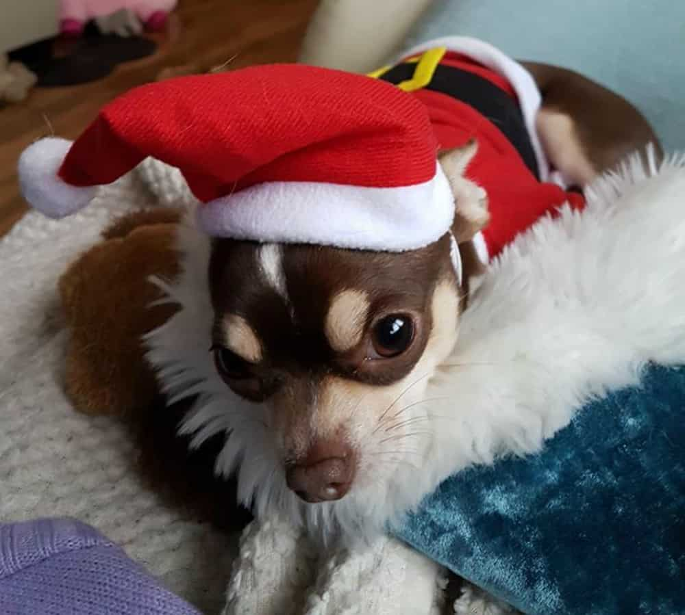 Sid the chihuahua