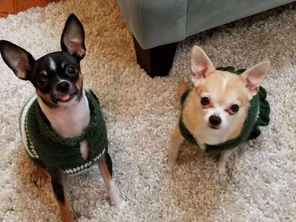 Mya and Mario the chihuahuas