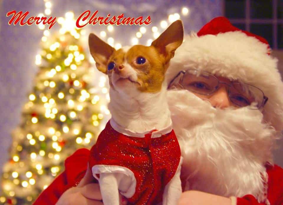 Bella the chihuahua on Santa