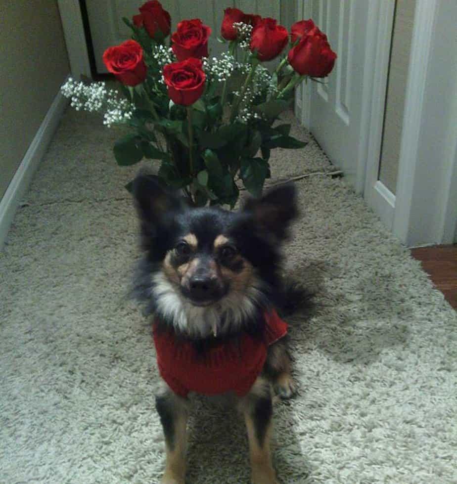 Valentines chihuahuas